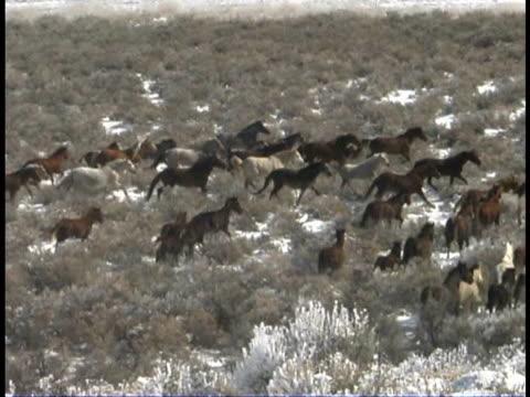 vidéos et rushes de ms, cs, herd of wild horses in snowy field, wyoming, usa - plan grue