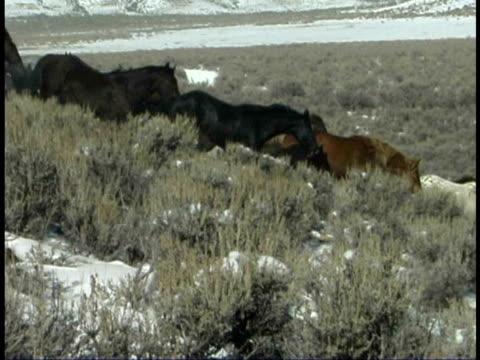 vidéos et rushes de ms, pan, herd of wild horses running downhill, wyoming, usa - groupe moyen d'animaux