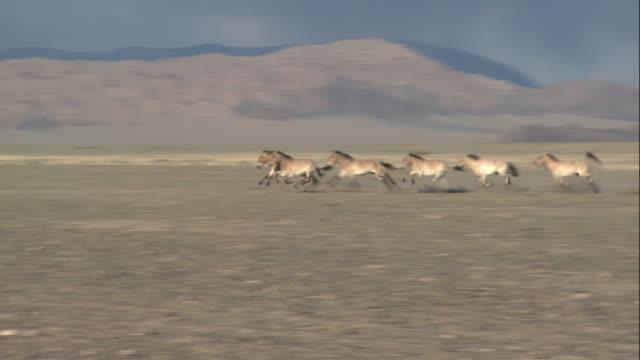 ts herd of wild takhi horses running across vast dirt plain / mongolia - przewalskihäst bildbanksvideor och videomaterial från bakom kulisserna
