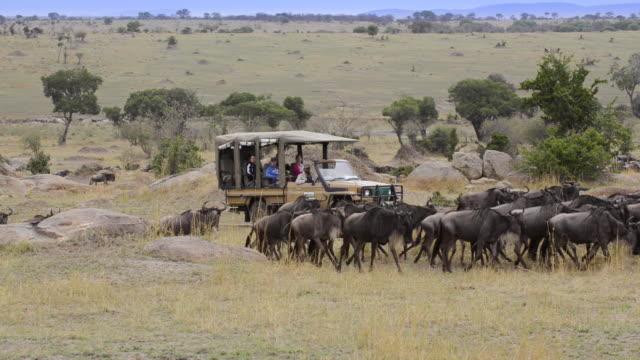 herd of wildebeest after crossing mara river on annual migration, serengeti - サファリ点の映像素材/bロール