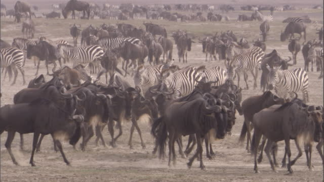 herd of wildebeest and zebra walk across savanna. available in hd. - migrating stock videos & royalty-free footage