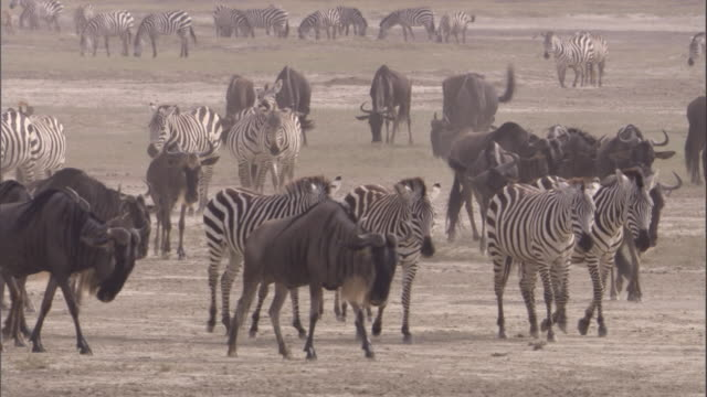 Herd of wildebeest and zebra walk across savanna. Available in HD.