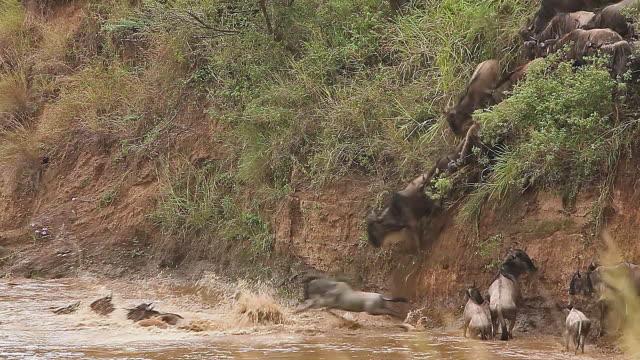 ms herd of wildebeest crossing mara river / national park, africa, kenya - herbivorous stock videos and b-roll footage