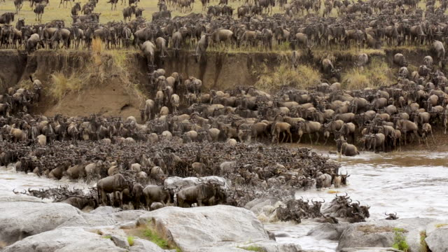herd of wildebeest crossing Mara River on annual migration, Serengeti