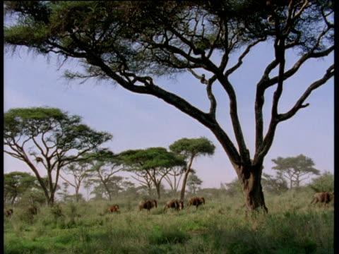 herd of wildebeest file past through acacia scrub - acacia tree stock videos & royalty-free footage