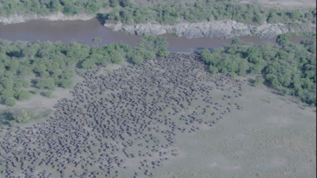 A herd of wildebeest gathers at a river in the Maasai Mara in Kenya. Available in HD.