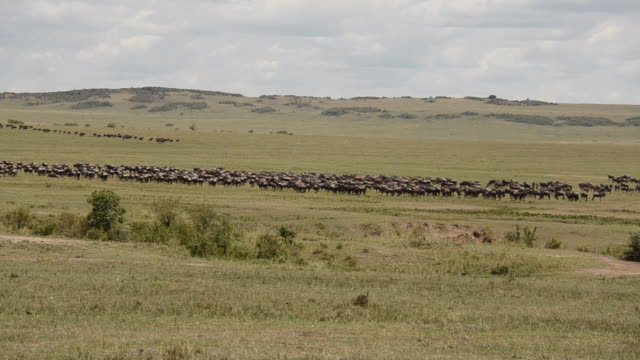 a herd of wildebeest grazing in the plains of africa near double cross area inside masai mara national reserve during a wildlife safari - herbivorous stock videos & royalty-free footage
