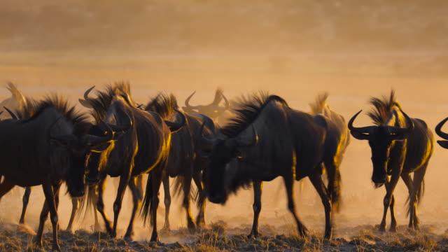 vídeos de stock, filmes e b-roll de um rebanho de gnus em luz dourada - deserto de kalahari