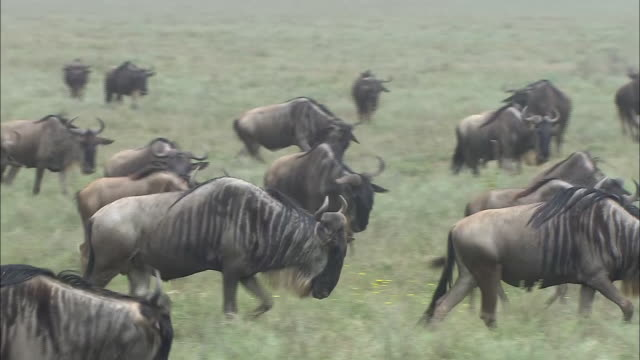 vídeos de stock, filmes e b-roll de a herd of wildebeest on the grass in serengeti national park, tanzania - bigode de animal