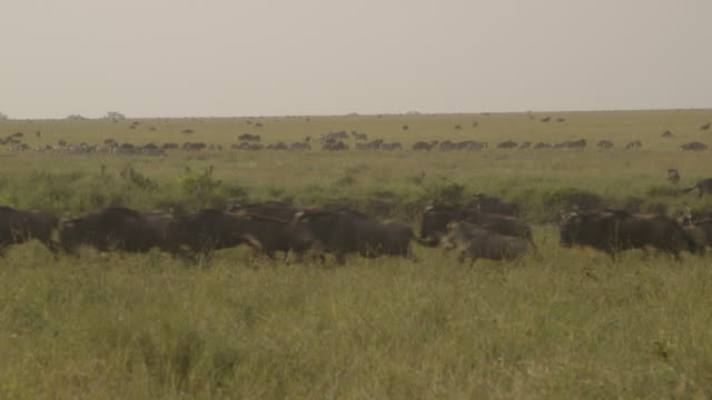 a herd of wildebeest run past in the foreground as zebra and other wildebeest graze in the background, tanzania. - grazing stock videos & royalty-free footage
