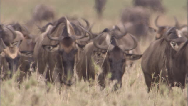 herd of wildebeest walk towards camera available in hd. - wildebeest stock videos & royalty-free footage