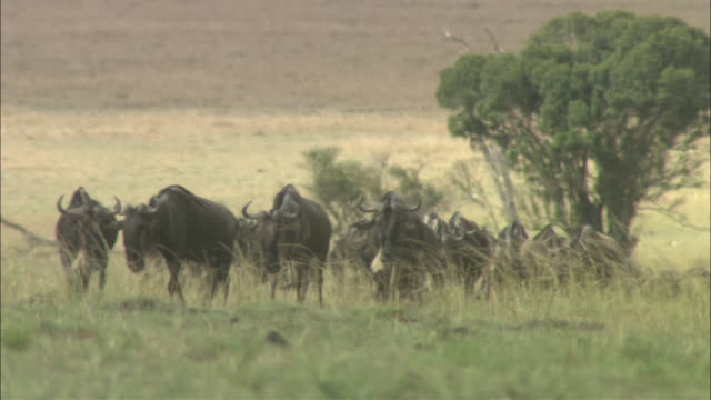 vidéos et rushes de ms, herd of wildebeest walking through arid grasslands, masai mara national reserve, kenya, africa - troupeau