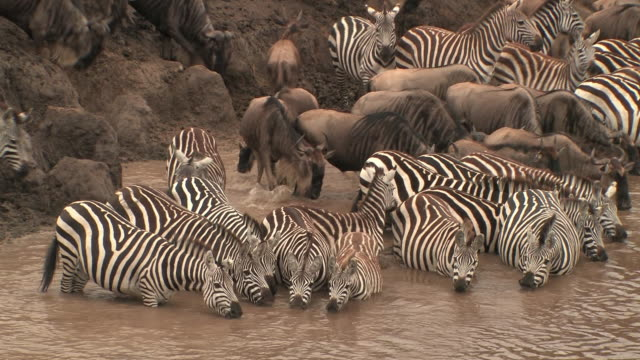 vídeos de stock, filmes e b-roll de ms, herd of wildebeests (connochaetes taurinus) and zebras (equus burchellii) drinking from muddy river, masai mara, kenya - caldeirão água parada