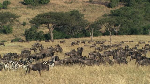 ws, herd of wildebeests (connochaetes taurinus) and zebras (equus burchellii) in savanna, masai mara, kenya - steppenzebra stock-videos und b-roll-filmmaterial