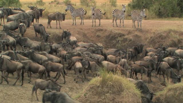ms, herd of wildebeests (connochaetes taurinus) and zebras (equus burchellii) in savanna, masai mara, kenya - steppenzebra stock-videos und b-roll-filmmaterial