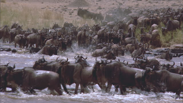 vidéos et rushes de a herd of wildebeests cross through a stream in serengeti national park. - troupeau