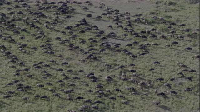 A herd of wildebeests migrates across a savanna in the Masai Mara game reserve. Available in HD.