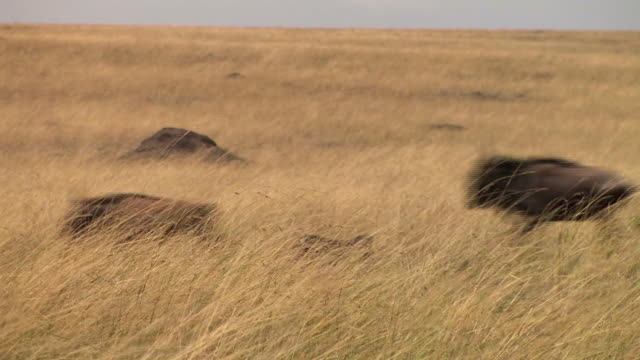 vídeos de stock, filmes e b-roll de ms, herd of wildebeests (connochaetes taurinus) running through savanna, masai mara, kenya - antílope mamífero ungulado