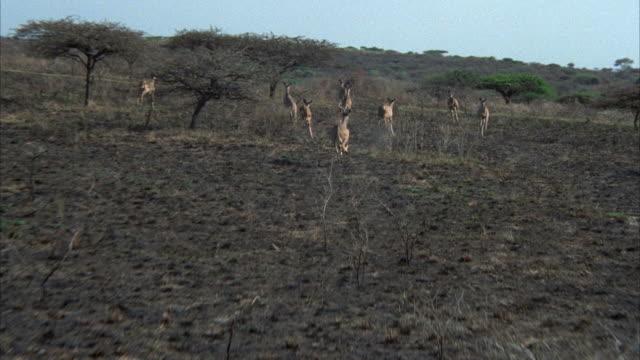low aerial herd of wildebeests running - medium group of animals stock videos & royalty-free footage