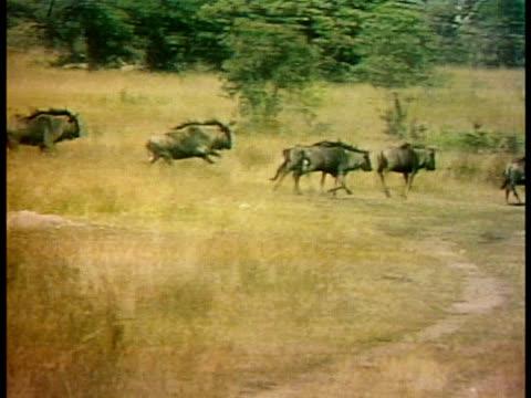 stockvideo's en b-roll-footage met herd of wildebeests stampede through the savanna. - op hol slaan