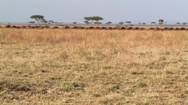 ws, herd of wildebeests (connochaetes taurinus) walking through savanna, masai mara, kenya - savannah stock videos & royalty-free footage