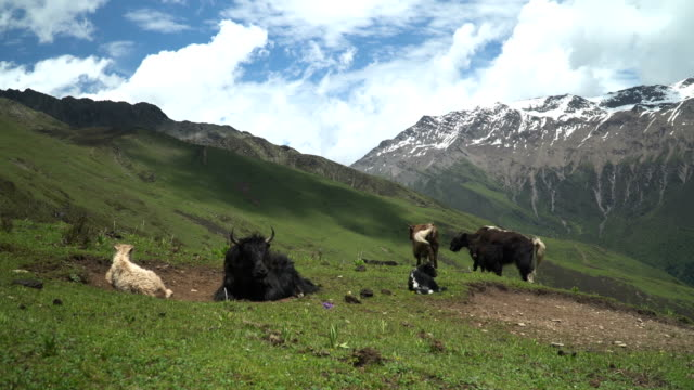 herd of yak among natural scene of mountain range in area of mount siguniang in haizi valley, siguniangshan national park, sichuan province, chinachina - uncultivated stock videos & royalty-free footage