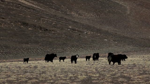 a herd of yaks in the high plateau. - yak stock videos & royalty-free footage