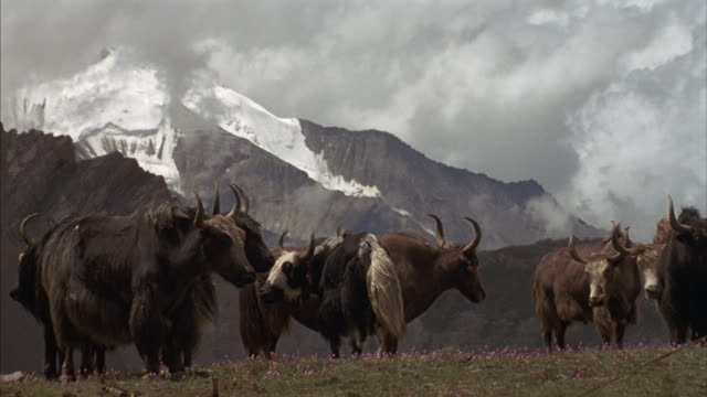 A herd of yaks stand on a grassy hilltop with Tibetan mountains  and gray clouds in the distance.