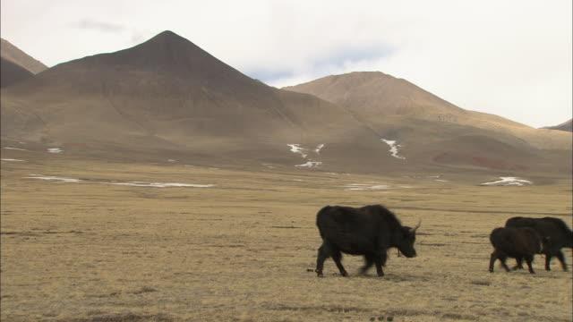 A herd of yaks walk across a Himalayan countryside.