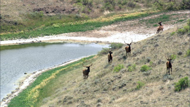 Herd Of Young Male Elk  - Aerial View - Montana, Valley County, United States