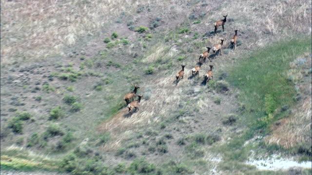 Herde von jungen männlichen Elk-Luftaufnahme-Montana, valley County, Vereinigte Staaten