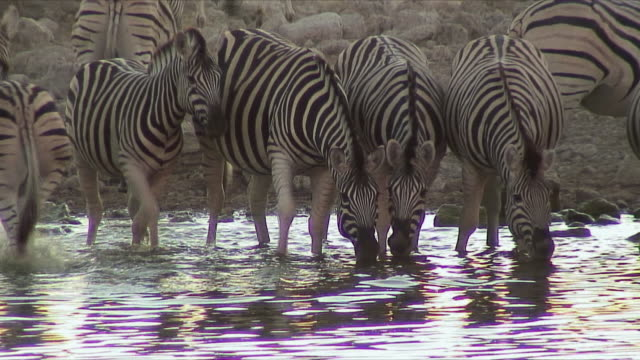 ms herd of zebra drinking at waterhole, turning away scared / etosha national park, namibia - waterhole stock videos & royalty-free footage