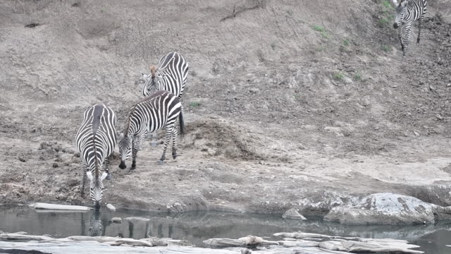 A herd of zebra drinking water from a hole inside Masai Mara national reserve