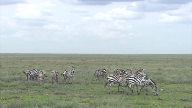 A herd of zebra eating grasses in Serengeti National Park, Tanzania