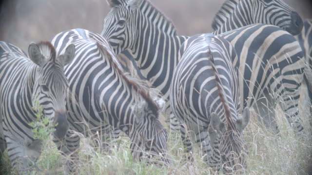 ms herd of zebra (equus quagga) grazing in savannah / kruger national park/ mpumalanga/ south africa - cinque animali video stock e b–roll