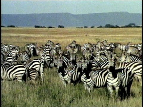 ws, herd of zebra (equus quagga) in field, tsavo national park, kenya - conformity stock videos & royalty-free footage