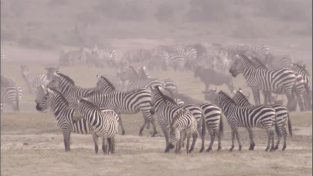 herd of zebra on savanna. available in hd. - steppenzebra stock-videos und b-roll-filmmaterial