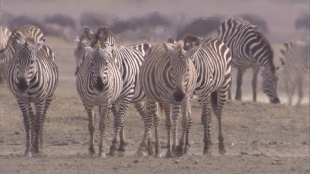 herd of zebra walk across savanna. available in hd. - steppenzebra stock-videos und b-roll-filmmaterial