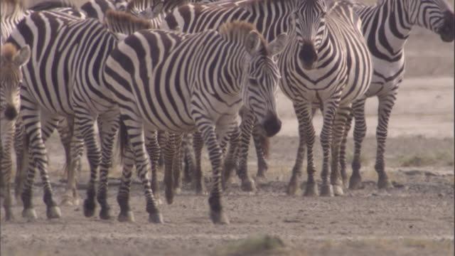 Herd of zebra walk across savanna. Available in HD.