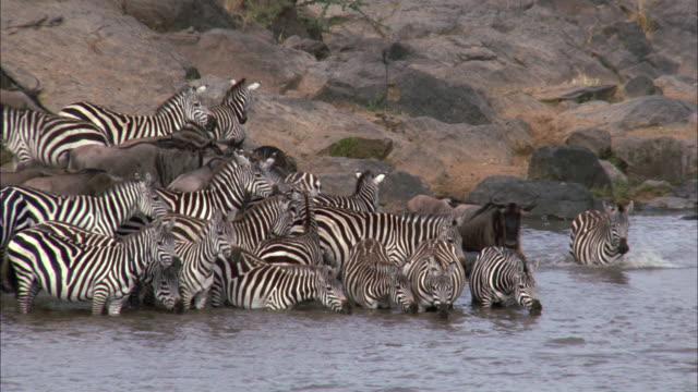 a herd of zebras gathers in a river. - herd stock videos & royalty-free footage