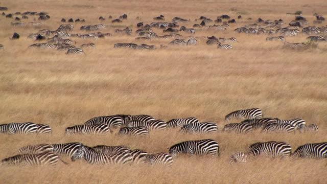 ms, herd of zebras (equus burchellii) grazing in savanna, masai mara, kenya - steppenzebra stock-videos und b-roll-filmmaterial