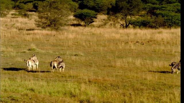 PAN Herd of zebras grazing on the veld