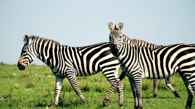 herde von zebras in masai mara kenia - zebra stock-videos und b-roll-filmmaterial