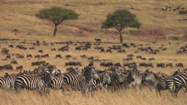 ms, herd of zebras (equus burchellii) in savanna, wildebeests (connochaetes taurinus) in background, masai mara, kenya - steppenzebra stock-videos und b-roll-filmmaterial