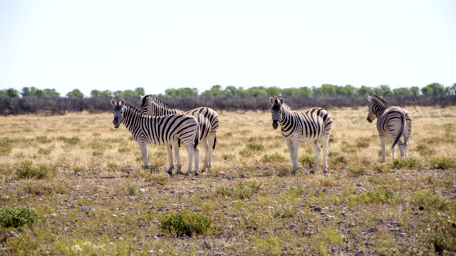 WS Herd Of Zebras In Savannah