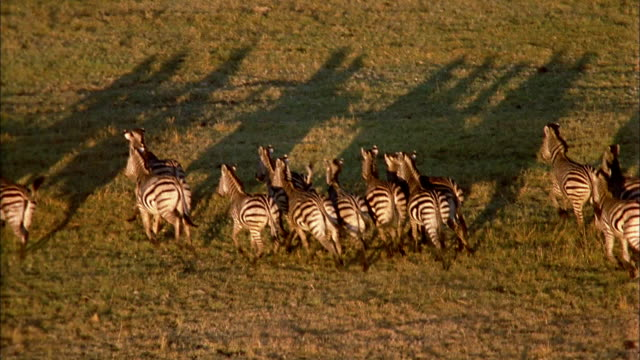 a herd of zebras stampede on the african savanna. - terrified stock videos & royalty-free footage