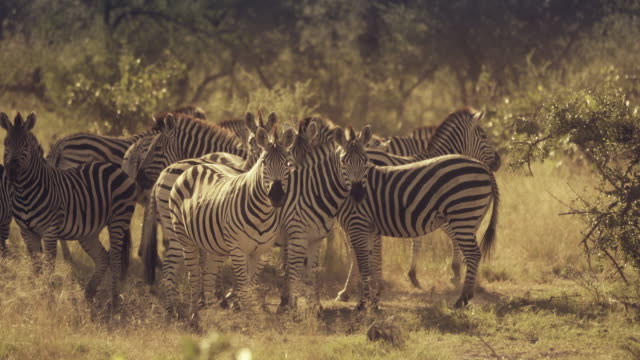 a herd of zebras under the trees of africa - medium group of animals stock videos & royalty-free footage