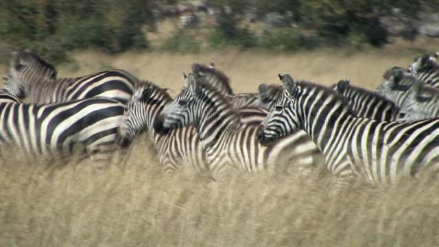 CU, PAN, Herd of zebras (Equus burchellii) walking through grass in savanna, Masai Mara, Kenya
