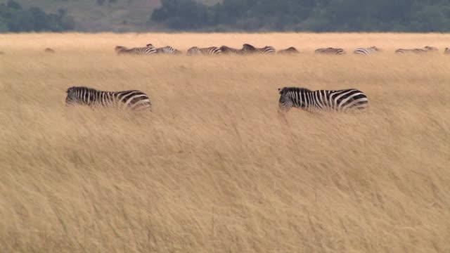 ms, pan, herd of zebras (equus burchellii) walking through grass in savanna, masai mara, kenya - steppenzebra stock-videos und b-roll-filmmaterial