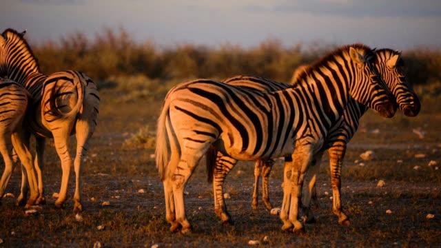herd of zebras walking through savannah. sunset - herd stock videos & royalty-free footage